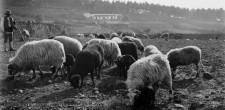 Pastor com rebanho de ovelhas, c. 1900